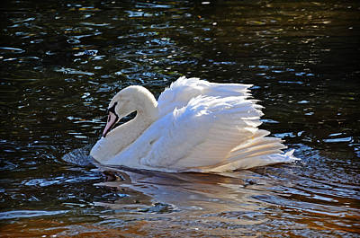 Photograph - Swan by Linda Brown