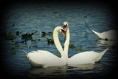 Photograph - Swan Love 2 by Laurie Perry