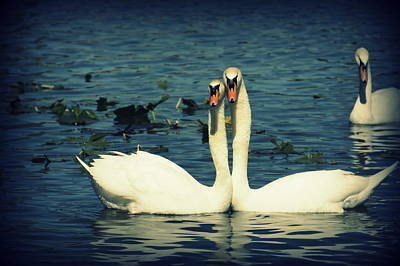 Photograph - Swan Love by Laurie Perry
