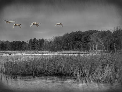 Tundra Swan Photograph - Swan Migration by Thomas Young