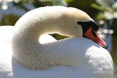 Photograph - Swan Neck by Carol Groenen