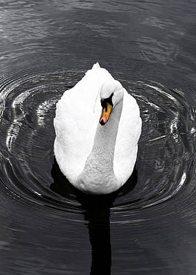 Photograph - Swan by Nick Field