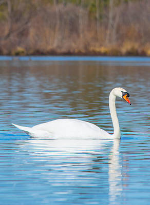 White Swan Photograph - Swan On A Lake by Parker Cunningham