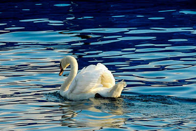 Photograph - Swan On Lake Lucerne by Marilyn Burton