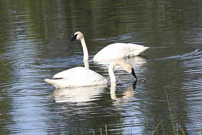 Photograph - Swan Pair by Lucinda VanVleck