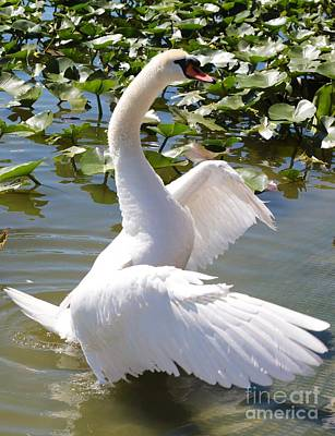 Glassy Wing Photograph - Swan Pose by Carol Groenen