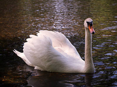 Swan Pose Print by Rona Black
