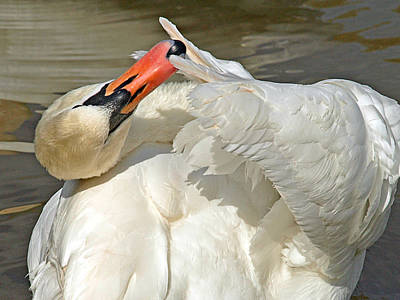 Photograph - Swan Preening In The Sunshine by Gill Billington