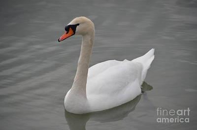 Photograph - Swan by Randy J Heath