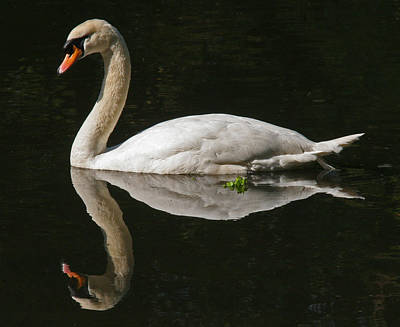 Swan Reflection Art Print by John Topman