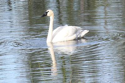 Photograph - Swan Reflection by Lucinda VanVleck