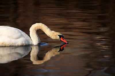 Swan Reflects Art Print by Karol Livote