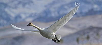 Tundra Swan Photograph - Swan Song by Sandy Sisti