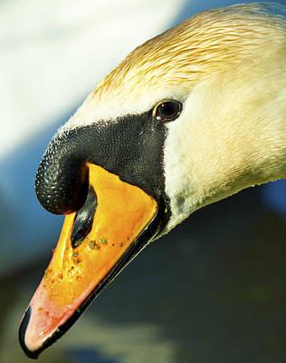 Photograph - Swan   by Steven Poulton
