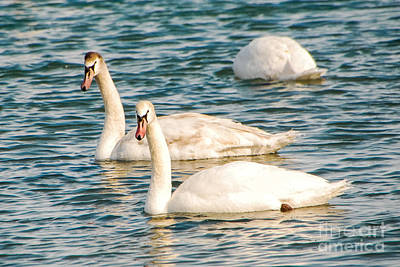 Photograph - Swan Stroll by Grace Grogan