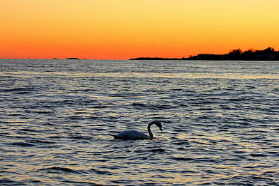 Photograph - Swan Traveling Sunset  by Neal Eslinger