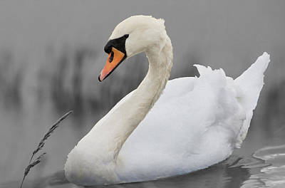 Photograph - Swan by Veli Bariskan