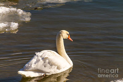 Photograph - Swan Winter Swim by William Norton