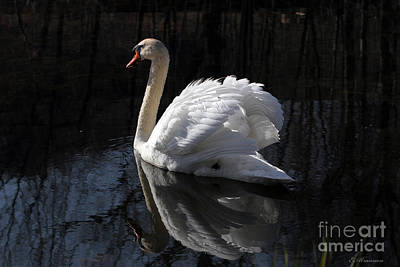 Print featuring the photograph Swan With Reflection  by Eleanor Abramson