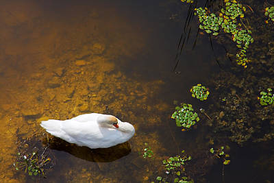 Swan Photograph - Swan With Sun Reflection On Water. by Jan Brons