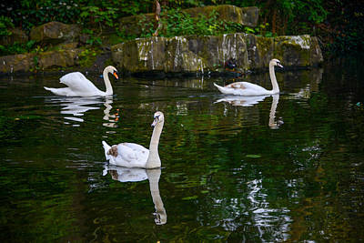 Photograph - Swans - St Stephens Green Park - Dublin by Marilyn Burton