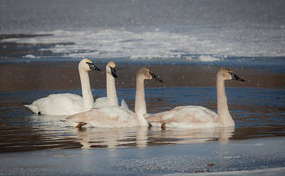 Swans And Cygnets Print by Chris Hurst
