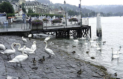 Swans And Ducks In Lake Lucerne In Switzerland Art Print by Ashish Agarwal