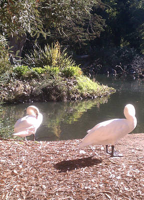 Photograph - Swans At A Lagoon  by Brent Dolliver