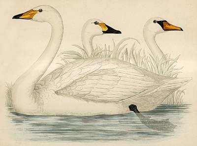 Swan Drawing - Swans by Beverley R Morris