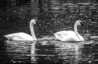 Photograph - Swans by Cheryl Baxter