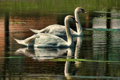 Swans Cruising Art Print