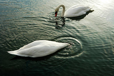 Hyde Park Wall Art - Photograph - Swans, Hyde Park by Oliver Strewe