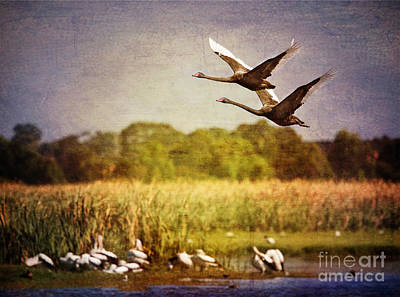 Swans In Flight Art Print by Kym Clarke