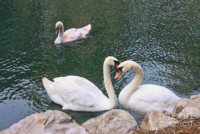 Swans In Love Art Print by Lidia Anderson