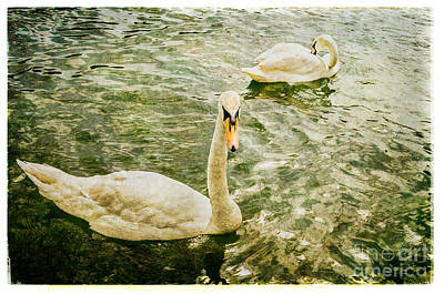 Photograph - Swans In Marlow by Lenny Carter