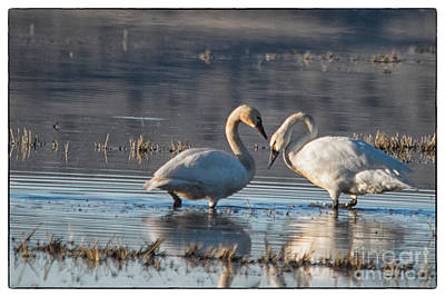 Photograph - Swans In Pose by Kati Tomlinson