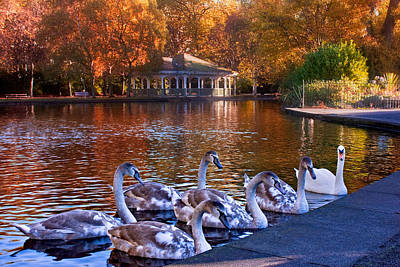 Photograph - Swans In Stephen's Green / Dublin by Barry O Carroll