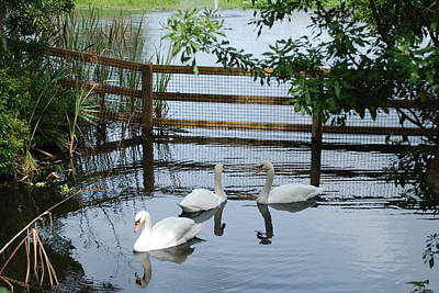 Photograph - Swans In The Pond by Beverly Stapleton