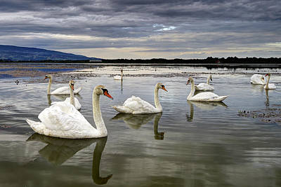 Mirror Photograph - Swans by Ivan Slosar