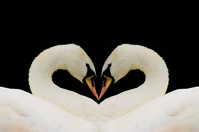 Photograph - Swans by Jack R Perry
