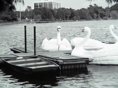 Photograph - Swans On The Lake by Belinda Lee