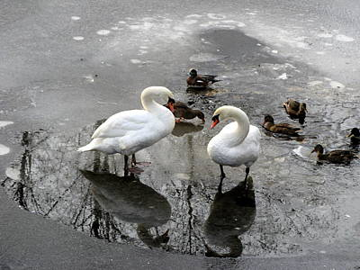 Photograph - Swans On Thin Ice by Brian Chase