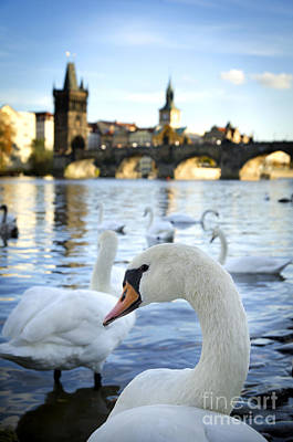 Swans On Vltava River Art Print