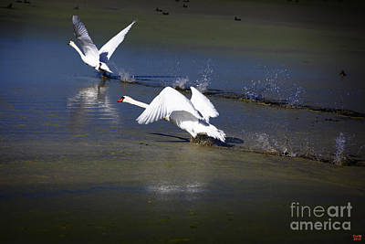 Lake Photograph - Swans Tandem Takeoff by David Millenheft