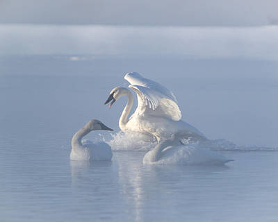 Photograph - Trumpeter Swans - Three's Company by Patti Deters