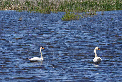 Photograph - Swans by Toby McGuire