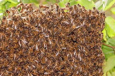 Animal Behaviour Wall Art - Photograph - Swarm Of Honey Bees by Dr. John Brackenbury