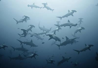Hammerhead Shark Photograph - Swarming by Alexander Safonov