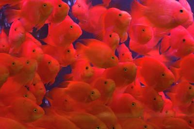 Gold Fish Photograph - Swarms Of Gold Fish, Shanghai, China by Keren Su
