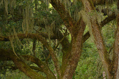 Photograph - Swaying Spanish Moss by Michael Gooch